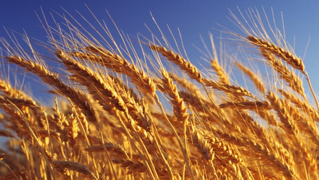 grain-seeds-of-grasses-gut-damage