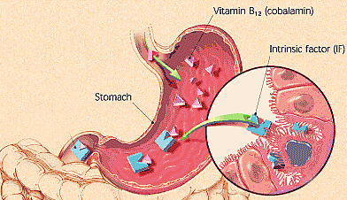 intrinsic factor-b12-stomach-acid-vegetarian